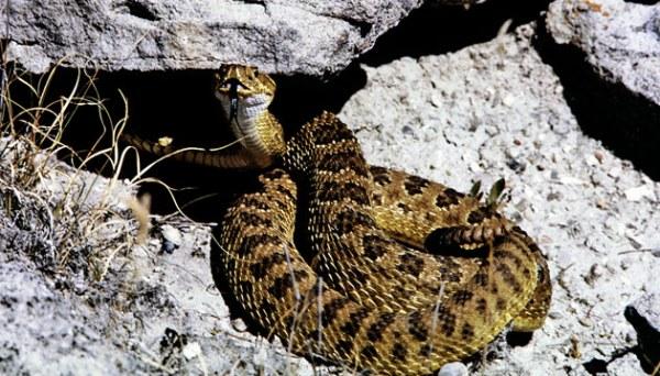 prairie-rattlesnake-adult