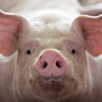 What's the Benefit of Pigs?